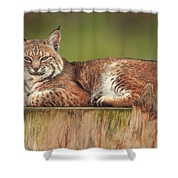 Bobcat  Shower Curtain by Brian Cross