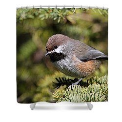 Boreal Chickadee Shower Curtain