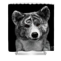 Closeup Portrait Of Akita Inu Dog On Isolated Black Background Shower Curtain by Sergey Taran
