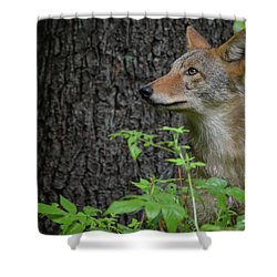 Early Morning Coyote In Maine Shower Curtain