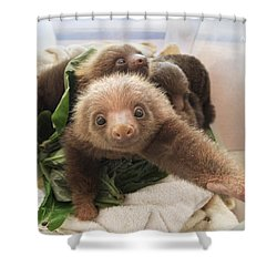 Shower Curtain featuring the photograph Hoffmanns Two-toed Sloth Choloepus by Suzi Eszterhas