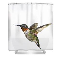 Ruby-throated Hummingbird Archilochus Shower Curtain by Thomas Kitchin & Victoria Hurst