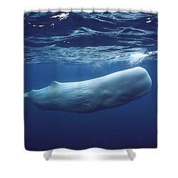 Sperm Whale Physeter Macrocephalus Shower Curtain by Hiroya Minakuchi