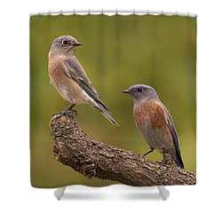 Western Bluebird Shower Curtain by Doug Herr