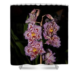 Cattleya Style Orchids Shower Curtain by Carol Ailles