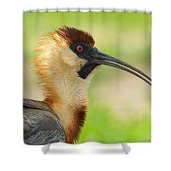 Buff-necked Ibis Theristicus Caudatus Shower Curtain