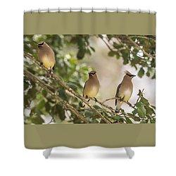 3 Cedar Waxwings  Shower Curtain