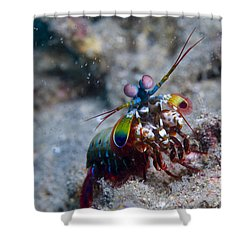 Close-up View Of A Mantis Shrimp, Papua Shower Curtain by Steve Jones