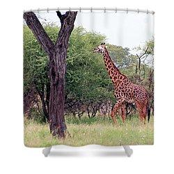 Giraffes Eating Acacia Trees Shower Curtain