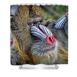 3 Male Mandrills  Shower Curtain by Jim Fitzpatrick