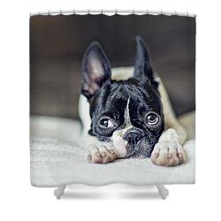 Boston Terrier Puppy Shower Curtain by Nailia Schwarz
