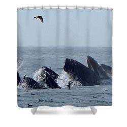 5 Humpbacks Lunge Feeding  Shower Curtain