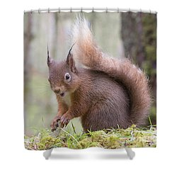 Red Squirrel - Scottish Highlands #8 Shower Curtain