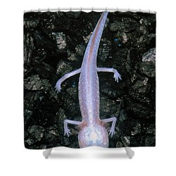 Austin Blind Salamander Shower Curtain by Dante Fenolio