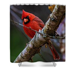 A Cardinal In Spring   Shower Curtain