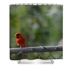 A Cardinal On A Fence Shower Curtain by Carolina Liechtenstein