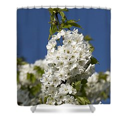 A Cluster Of Cherry Flowers Blossoming In The Springtime Shower Curtain