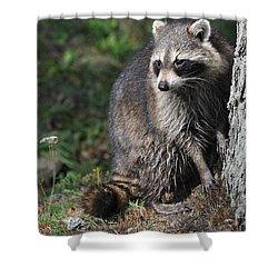 A Curious Raccoon Shower Curtain by Lisa DiFruscio