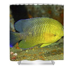 A Dusky Damselfish Offshore From Panama Shower Curtain by Michael Wood