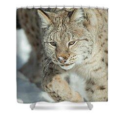 A Eurasian Lynx In Snow Shower Curtain