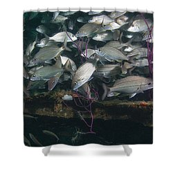 A Large School Of Tomtate Shower Curtain by Michael Wood