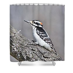 Shower Curtain featuring the photograph A Male Downey Woodpecker 1120 by Michael Peychich