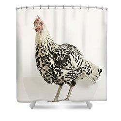 A Silver Spangled Hamburg Chicken Shower Curtain by Joel Sartore