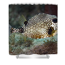 A Spotted Trunkfish, Key Largo, Florida Shower Curtain by Terry Moore