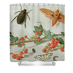 A Sprig Of Redcurrants With An Elephant Hawk Moth, A Magpie Moth And Other Insects, 1657 Shower Curtain