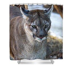 A Stunning Mountain Lion Shower Curtain