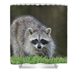 A Surprised Raccoon Shower Curtain