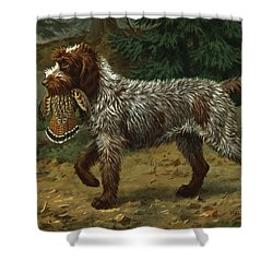 A Wire-haired Pointing Griffon Holds Shower Curtain