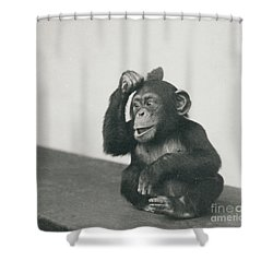 A Young Chimpanzee Playing With A Brush Shower Curtain