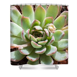 A Young Succulent Plant Shower Curtain by Catherine Lau