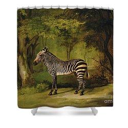 A Zebra Shower Curtain