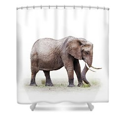 African Elephant Grazing - Isolated On White Shower Curtain