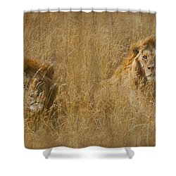 African Lion Brothers Shower Curtain