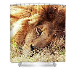 African Lion Closeup Lying In Grass Shower Curtain