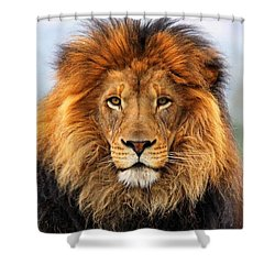 African Lion 1 Shower Curtain by Ellen Henneke