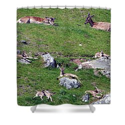 Afternoon Siesta - Red Deer Hinds And Calves Shower Curtain by Phil Banks