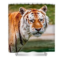 Aging Tiger Shower Curtain