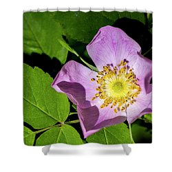 Shower Curtain featuring the photograph Alberta Wild Rose Opens For Early Sun by Darcy Michaelchuk