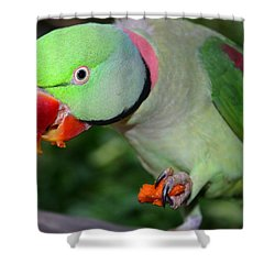 Alexandrine Parrot Feeding Shower Curtain