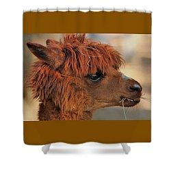 Alpaca Portrait Shower Curtain by Sheila Brown