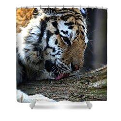 Always A Cat Shower Curtain by Karol Livote