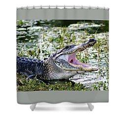 American Alligator Florida 3314_2 Shower Curtain