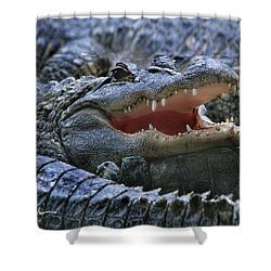 American Alligators Shower Curtain