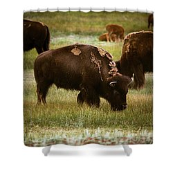 American Bison Grazing Shower Curtain