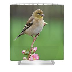 American Goldfinch Shower Curtain by Doug Herr