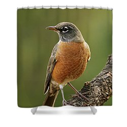 American Robin Shower Curtain by Doug Herr